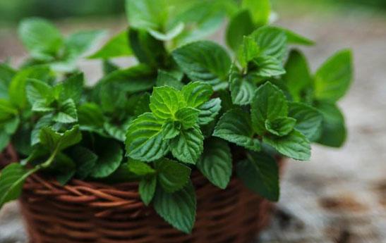 گیاهان دارویی موثر در کاهش آلرژی های فصلی