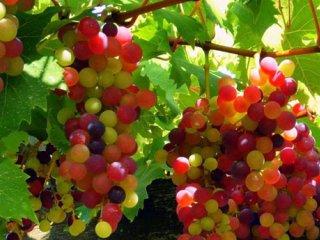 خواص انگور از ديدگاه طب سنتی