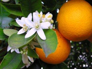 بهار نارنج؛ شمیم سلامتی