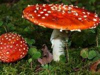 قارچ های سمی دنیا