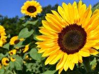 گل آفتابگردان؛ بشقاب زرد سلامت