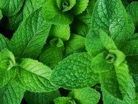 فواید و خواص درمانی گیاه پونه
