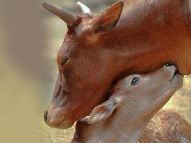 مهر مادرانه در حیوانات
