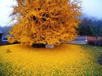 درخت جینکو 1400 ساله در چین