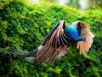 پرواز طاووس