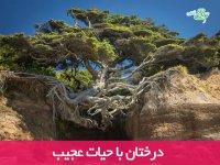 درختان با حیات عجیب