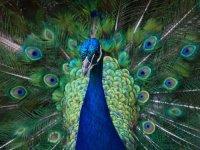عکس مجموعه زیبا از طاوس های زیبا و رنگارنگ