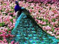 طاووس های رنگارنگ