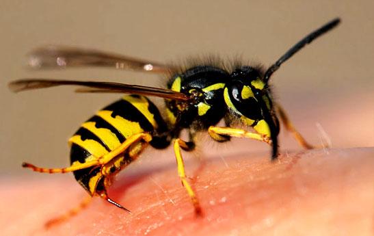 تازه های کرونا : تأثیر «نیش زنبور» بر درمان بیماری کرونا حقیقت دارد؟