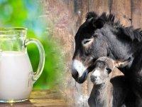 اما و اگرهای مصرف شیر الاغ؛ از سلامت تا کراهت