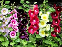 گل ختمی؛ از کاهش قندخون تا تسکین دردها