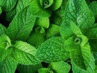 پونه؛ گیاهی که سلامتی شما را تضمین میکند