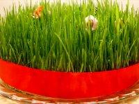 طرز کاشت سبزه گندم برای عید