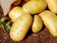 یک روش ساده برای جلوگیری از جوانه زدن سیب زمینی