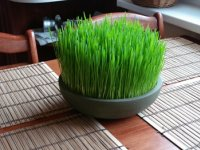 نحوه کاشت سبزه عید با هسته خرما