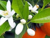 بهارنارنج عیدی بهارانه طبیعت