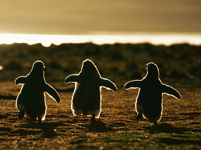 زندگی شگفت انگیز پنگوئن ها