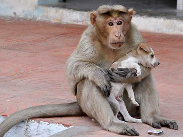 میمون ناجی
