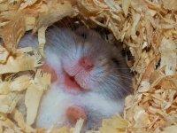 همستر بانمک