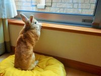 خرگوش خانگی