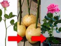 پرورش گل رز شاخه ای با سیب زمینی