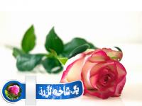 یک شاخه گل رز
