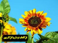 گل آفتابگردان یا گل آذریون